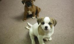 We have two adorable shitzu puppies for sale. they are 75% shitzu and have had there first shots. They have wonderful personalities, the white one is male and the brown one is the female but she has been SOLD. They will make a wonderful christmas present