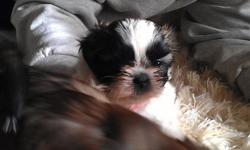 Shihtzu/Yorkie puppies, 1 little brindle boy still available. Born Oct 21.  First shots and wormer. Ready to go to new home.   Will hold until Xmas Eve with deposit.   or   .