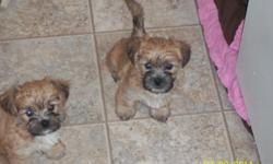Very cute 7 week old shih tzu/yorkie mix puppies. Exceptional family companion. Highly intelligent, east to train, playful and devoted. Non-shedding. Will be small dogs full grown (between 4-12lbs). Color: Gold bodies with black faces and white & black