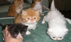 xmas knight a litter of five females were born,to my tortishell dam and adorable white odd eye color sire with champion background,white odd eye female,blk-whte-bicolor,3 red-whte tabbys beautiful markings,taken deposits now for your pich of litter,i also