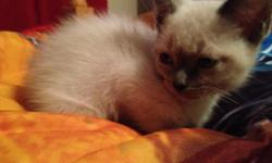 Male 8 weeks old bluepoint siamese needs a loving home.
