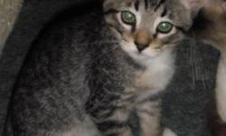 "(1/2 siamese kitten) to good caring homes. Adorable kitten born June 3rd, 2012. The mother is a blue point siamese, the father is or has main coon, as most of the kittens have an ""M"" marking and lots of stripes/spots. 1 female tiger striped"