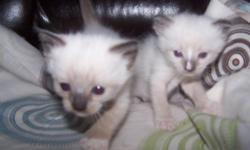 Born January 22, 2011. Ready for new home. There is one Siamese/Ragdoll kitten ? A Mitted Seal little girl with beautiful blue eyes is available to a good home. The kitten is vet checked, has her distemper shot and dewormer. Health guaranteed. She is