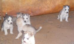 full blooded siberian husky pups...ckc registered. all are blue eyed. $300. will be ready aug.11th
