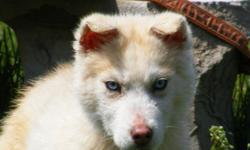 male siberian husky, blue eyes, ckc,color is sable /white. 5 months old