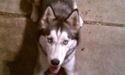 *****Awesome deal*****She is a beautiful gray & white blue eyes Siberian husky ACA registered and intelligent, gentleness, even temperament, & she has this eagerness to please. She is also Micro chipped and is very loyal and knows basic sit/stand/stay