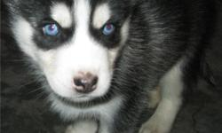 FREE Siberian Husky Pup- Female, blue eyes, blk & white, gorgeous, sweet, adorable, and glorious she?ll steel your heart at first site. I?m looking for a SERIOUS loving caring big hearted person with a well sized secure fenced yard and that dose NOT have