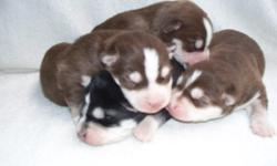 AKC CKC double registered pure bred siberian husky puppies. I have 1 red/wh female, 2 red/wh males and 1 blk/wh male. Puppies should have double blue eyes. They will have 1st shot and be dewormed by pick up. a deposit will hold the puppy of your choice