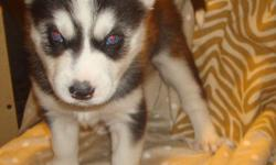 Breed: Siberian Husky Age: Born 12-30-2010 Siberian Husky Puppies For Sale $650 Ready February in time for Valentines Day!! ONLY 1 RED MALE LEFT!!! mlgerde@yahoo.com 502-583-6546 Joliet, IL For more information and pictures, checkout our website!!