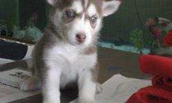 Gorgeious Siberian Husky pups for sale in Grand Forks. Mother is AKC. Father is APRI. 1 red and white girl 3 black and white girls 2 red and white boys Inquire at petspalace@rocketmail.com or call 701 331-1638