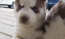 This pretty little girl will be ready for a new home around April 1st. She will be well socialized, have FULL AKC reg., be vet checked, have 1st shots, and de-wormed.