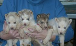 beautiful husky pups ready to go 11-15-10. just in time for christmas. blue eyes, ckc registered. call for details. 336-593-2241 or email steve_underwood60@hotmail.com