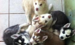 CHAMPION HUSKIES FOR SALE. GO TO OUR WEBSITE FOR MORE INFO AND PICTURES. littleracershuskies.freehosting.net
