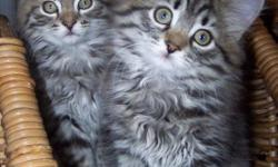We raise beautiful quality TICA registered siberian kittens. Our cats are kept in our home as part of our family. They are socialized around small children. Our sires are imported from Russia and Switzerland. We specialize in traditional colors and