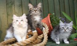 All kittens raised underfoot, happy, well socialised mischief makers available to pet or breed/show homes. Visitors are always welcome, we specialise in neva masquerade and maquerel taby siberians, tested and proven to be hypoallergenic. All kittens leave