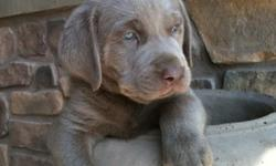 Silver Sage Labradors: Currently we have a litter of big, blocky, beautiful Silver Lab puppies available. The litter is almost 7 weeks old and will be ready for their new homes within the next week. The litter is from our gorgeous silver female Daisy.