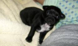 Chihuahua/Mix Puppy. black with a white chest. He will be very small, between 6-12lbs as an adult. Raised with other pets and children so he will be great in any new family. Already started potty training. Very smart! I have more pictures upon request.