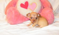 Small Chihuahua puppies available. 1 female, 1 male. CKC reg. Born 06/18/11. 1 year Health Guarantee. Raised in my home and puppy pad trained. Current on vaccines and dewormings. Call Debra 910-303-9710 Visit my website www.yourpuppystop.com I will meet