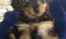 I have five precious girls ready to join your family. These puppies are very active/playful and healthy. Their approx. adult wt. should be anywhere from 4-10lbs. They have been given their first set of shots, and have been dewormed several times. They are
