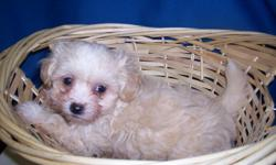 these pups were born 6-13-11 ..ready to go now ..the 2 with the sable spots on the face are girls , and brother is champange colored ...daddy is a toy poodle , 4 1/2 # and mom weighs about 6 # she is maltese ...they should be 4 1/2 -5 # ....health record
