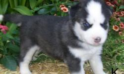 smiling cute Siberian husky puppies for adoption available now.text us at -- for more details and pics.