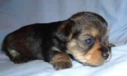 We have 6 Snorkie puppies for sale (part Yorkie, part mini Schnauzer, 4 girls and 2 boys). They will be 5 weeks old on 04/12/11. At sale they will have received their first shot and wormed. They already have their tales docked and dew claws removed by