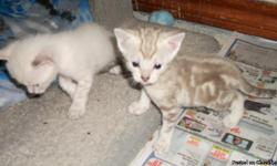 Snow Bengal Kittens - TICA Registered - Born October 24,2010 -They will be ready for Christmas - . They will have their shots and worming plus vet check before going to their new homes. We have 2 spotted snow males and 2 marbled snow females available.