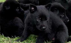 Solid black German Shepherd puppies with shots and dewormer. Great dogs with exceptional attributes and backed by a long history of German working lines pups are going on 7 weeks and are ready to be your companion with  papers. Email me at