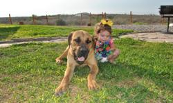 Nicco is a 10 month old, fun, loving boerboel with lots of energy. He needs to go to a good home that will love him and exercise him regularly. We are needing to get rid of Nicco because, although he is a great gaurd dog, he isn't doing well with our