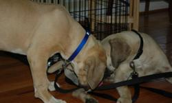South African Boerboels for sale In Clear Brook, VA. Call --. Pet and Breed available.