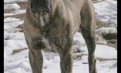 We are excited to offer a few select families the opportunity to own one of our amazing South African Boerboel pups! This is a new and rare breed in America, and we own the only breeding pair in Alaska. In 1990, the Boerboel was nearly extinct, and it is