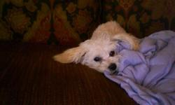 """I rescued Henry from an owner on craigslist who described her malti-poo puppy as """"retarded."""" After taking him to a vet, I discovered that he was simply 90% blind and terribly malnourished. My mom nursed him back to health and he is now a super soft"""