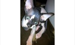 10 week old male Sphynx. Very sweet and playful boy. Great with other cats. Has been raised in the house with dogs and a toddler.