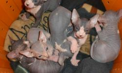 Sphynx kittens for sale. 6 kittens were born 10/30/12. Kittens will be ready at the age of 12weeks to go to their new homes. Kittens come with first shots, d-worming, health record and registration papers. I am now taking $300 deposits to reserve your