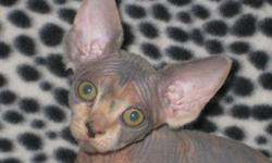 SPHYNX KITTEN & ADULT BREEDER SELLOUT!!! 3 ADULT PROVEN BREEDERS, MALE & FEMALES. PROVEN BREEDERS WITH TICA REGISTRATION. 2 FEMALES BRED: 1 CONFIRMED PREGNANT, 1 BRED-POSSIBLY PREGNANT!!! 1 MALE PROVEN BREEDER www.RaisedWithLuv.com Call FOR PRICING or for