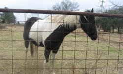Hytone Generator is a gelding and comes from race horse stock. His great granddad was Hy-tone Beau and his great grandmother was Hail To Reason. Grandparents won 3 major races in 1960 and 1 in 1966. Hytone Generator's nickname is Oreo because of his black