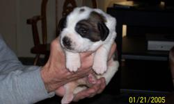 ADORABLE FULL BLOODED ST.BERNARND PUPS FOR SALE!!BOTH PARENTS ON PREMISES,call linda @561-417-3114,they are 5 weeks old and the price is 500.00 ea.,if interested you will have to call due to e-mail issues on my end sorry.i can recieve e-mails just can't