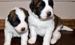 For Sale: We have 2 male St. Bernard Puppies for sale. Mom is on site, Father lives with a family near by. Mom weighs about 130lbs, and dad weighs about 165lbs. The larger pup could be a big boy. Mom is used a therapy dog, Both parents have sweet