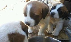 Adorable St. Bernard puppies. We have 4 boys and 3 girls. They are 8 weeks old and have had their shots. They all have beautiful markings and are ready for a new home.