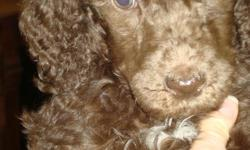 i have a litter of gorgeous akc standard poodle puppies. they are non shedding, hypoallergenic and very smart. i bred for personality so these pups will all be social,well behaved,etc.