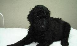 AKC Reg. Black- 3 males 3 females 8 wks. first shots and wormed. potty training. non-shedding, hypo allergenic Great Dogs !