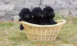 Standard Poodle Puppies Born July 30,2012. 10 weeks old Only 3 black males left! CKC registered. Comes with full registration papers and vet records. Parents on site. Puppies are adorable, friendly, happy and heathy- vet checked and approved! Ready for