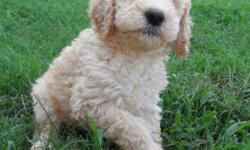 Standard Poodle Puppies Born 7/30/12. Ready for new home this week! Black Males Apricot Male Light Cream/Apricot Females Vet checked 1st shots, dewormed, tails docked, du claws removed! Adorable, healthy puppies! Come with CKC papers, Vet records, 1st