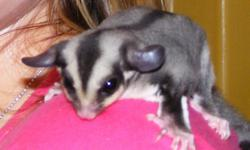Sugar glider with accessories call 270 692-9685 ask for Tiffany