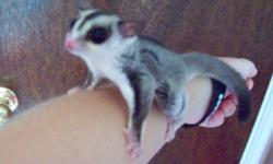 """""""Clawless - The Night Furry"""" We have a nine-month-old female with cage and even a book on how to handle/take care of one. There's also vitamins, water bottle and three dishes, two """"exercise balls"""", a hanging pouch and a """"bonding pouch"""", and heat lamp. She"""