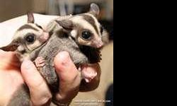 Female sugar glider, 4 months old. Tame, & well loved & cared for....have been searching for a new home to love & care for her- I have had my sugar gliders for 6 years & love them dearly, & its hard to part with the babies, but can not take a chance of