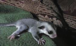 We breed Classic Grey, White Face Blonde and Mosaic some have Leu het and Creme-Ino het. We are located in Columbus, WI. All of their lineage is listed on TPG database. http://twilightgliders.weebly.com/ Current Joeys: Name: Twilight Glider's Yoda RE4