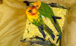 Two birds4 sale as a pair - one sun conure& one jenday conure - WITH EGGS. Also included is a 6ft tall 4 ft wide bird cage with an attached nesting box for the eggs. E-mail me if you would like additional pics.