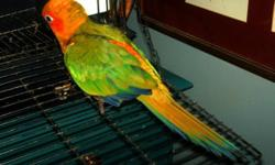 """I have a sun conure, born 4/13/2010, for sale with a 3'0"""" tower cage and 4 feed bowls. She is very friendly and affectionate. I have fallen on hard times and can not spend all that long playing with her each day and would like to find a home with an"""