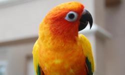 Sweet one year old hand-raised baby!! Gorgeous colored feathers(see photos). Very healthy & she loves fruits & veggies. Work forces sale(too busy for the love). Over $700 invested... Price includes cage!!! $200.00
